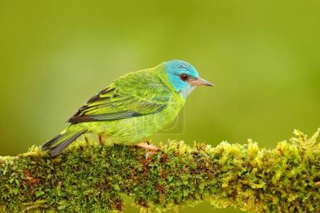 Female of Blue Dacnis bird