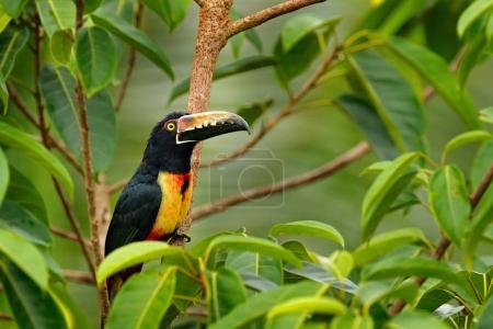 Collared Aracari bird