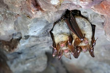Greater mouse-eared bats