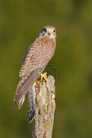 little bird of prey