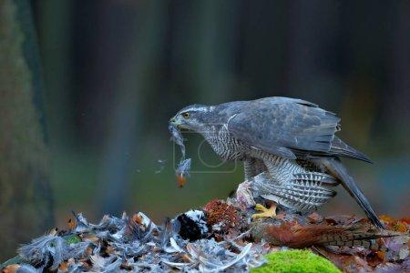 Goshawk kill Common Pheasant