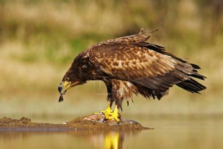 White-tailed Eagle bird
