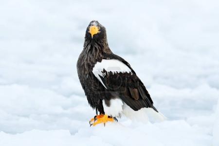 Beautiful Steller's sea eagle