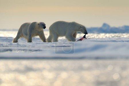 Pair polar bears with seal pelt