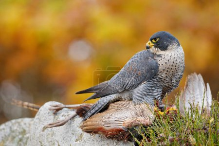 Hunting Peregrine Falcon bird