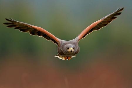Wildlife animal scene with hawk