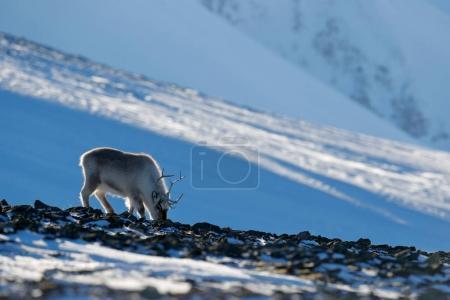 Winter landscape with reindeer