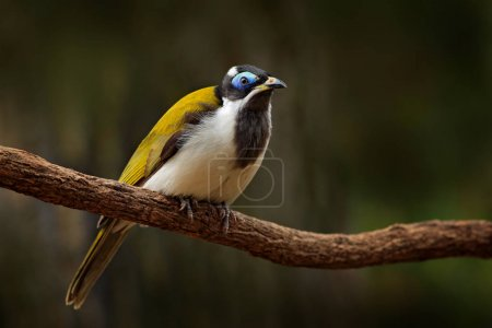 Blue-faced Honeyeater in dark forest