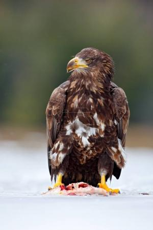 White-taliled Eagle with catch fish