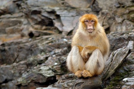 Barbary macaque sitting on the rock