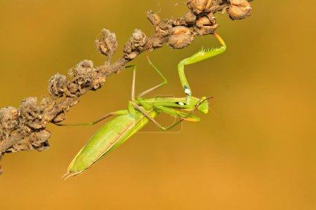 Mantis on flower in evening sun
