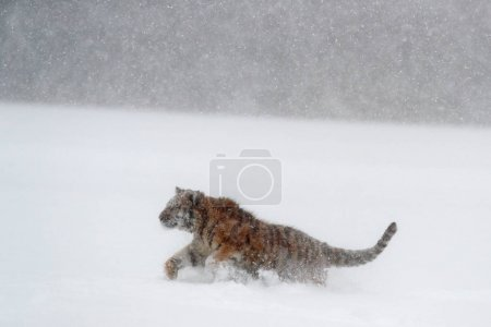 Amur tiger running in the snow
