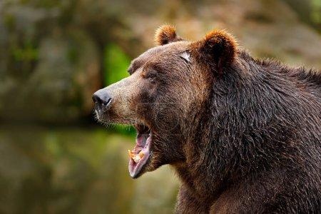 Bear with open muzzle. Portrait of brown bear. Det...