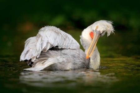 White Pelican in river