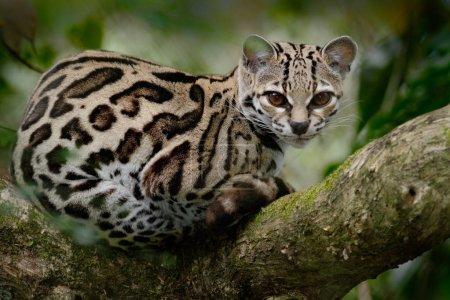 Wild cat from Costa Rica