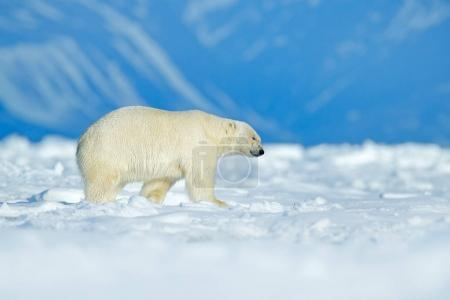Polar bear walking on the ice