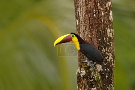 Toucan sitting on the branch in tropical rain