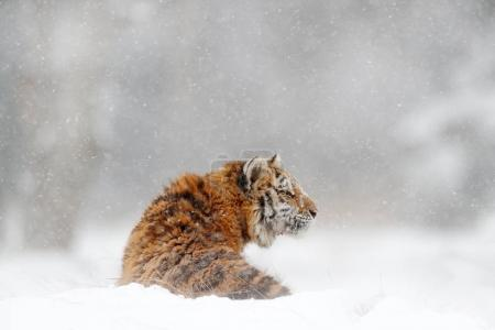 Tiger in wild winter nature
