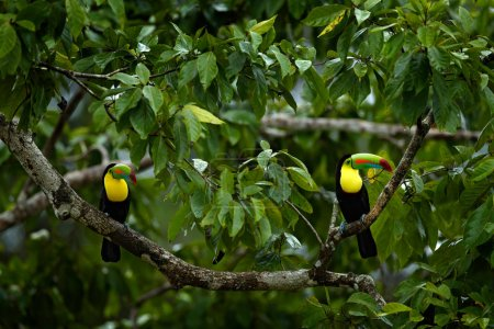 Couple of toucans hidden in the forest