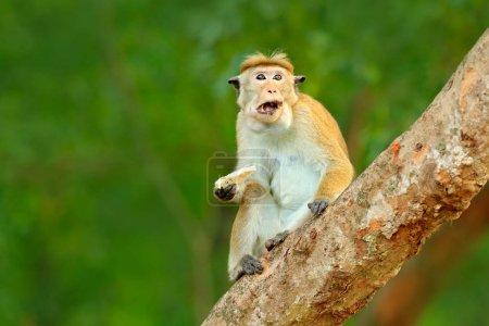 Macaque in nature habitat