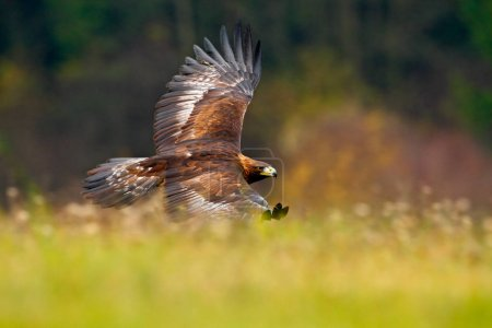 Eagle bird flying in wilderness