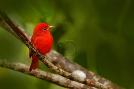 Summer Tanager in green vegetation