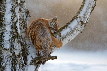 Tiger in the larch tree