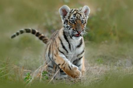 Cute tiger cub in grass