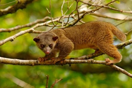 Kinkajou from Costa Rica