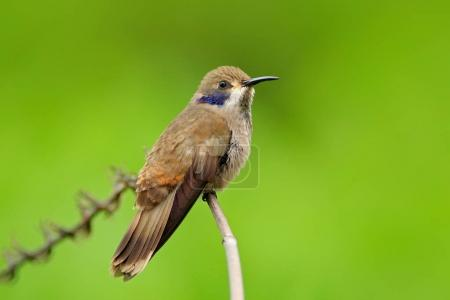 Brown Violet-ear Colibri bird