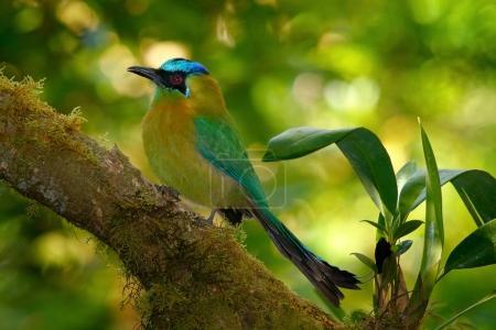 Blue-crowned Motmot bird