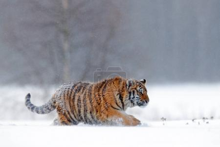 Running tiger with snowy face