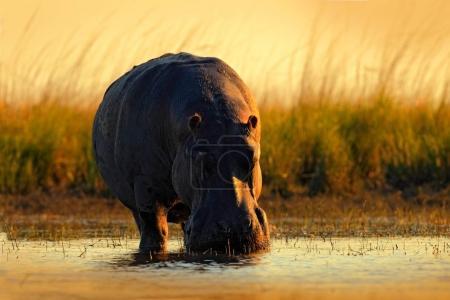 Photo for African Hippopotamus, Hippopotamus amphibius capensis, with evening sun, animal in the nature water habitat, Chobe River, Botswana, Africa - Royalty Free Image