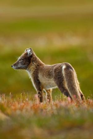 Arctic Fox in the nature habitat