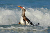 Bird in the water. Gentoo penguin jumps out of the