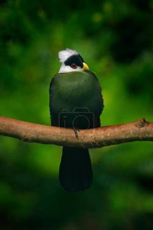 Green bird with white head