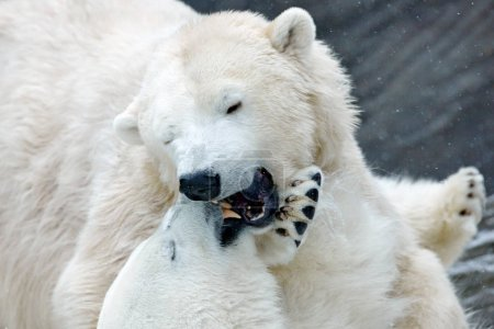 Polar bears fighting on ice