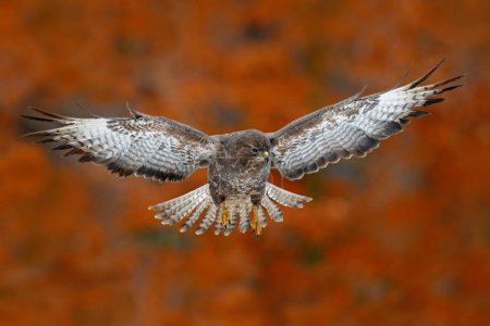 Flying bird Buzzard hawk