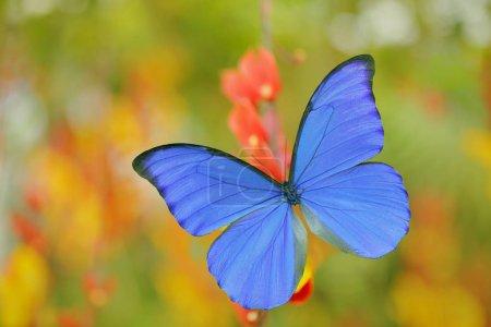 Giant blue morpho,