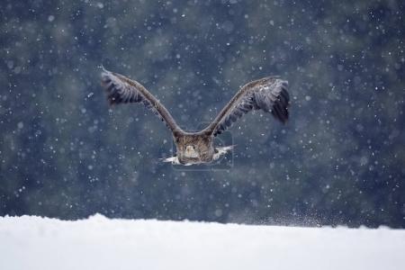 Eagle flying through snow