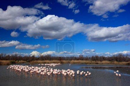 Flamingos in nature habitat