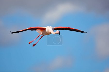 Flying pink big flamingo