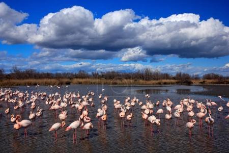 Photo pour Troupeau de beaux grands flamants roses, dansant dans l'eau. Ciel bleu et nuages, Camargue, France, Europe . - image libre de droit
