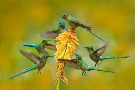 Photo pour Troupeau de six oiseaux sucer le nectar de belle fleur jaune en Équateur . - image libre de droit