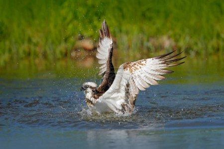 Osprey bird catching fish