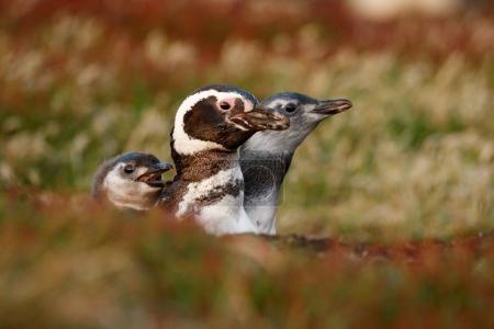Three birds in nesting ground hole