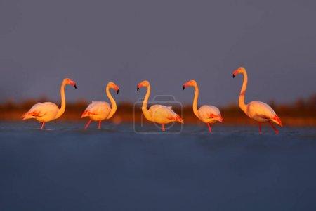 Flamingos staying in morning light close sea water