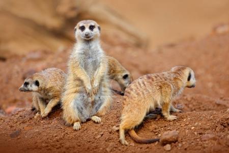 Photo pour Grande famille de suricates assis sur le sable en Afrique nature en Namibie - image libre de droit