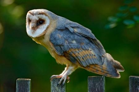 Barn owl sits on wooden fence