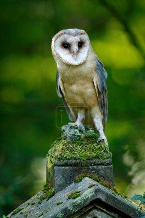 Barn owl sits on stone